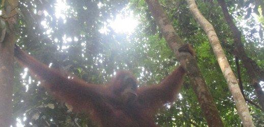 Bukit Lawang – À la recherche de l'homme de la forêt